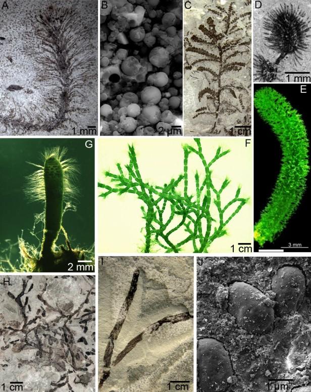 """Joonis 3. A- Species nova ehk uus liik, B- Elektronmikroskoobis tehtud pilt uue liigi paljunemisorganitest ehk tsüstidest, C- punavetika Leveilleites hartnageli tallus, D- pilt Leveilleites hartnageli """"tupsukesest"""" 3D-mikroskoobiga, E;F;G- Näide tänapäevastest dasüklaadidest (Sigrid Berger 2006. fotod), H- rohevetika Palaeocymopolia silurica tallus, I- rohevetika Kalania pusilla tallus, J- Elektonmikroskoobi abil tehtud pilt Kalania pusilla tsüstidest."""